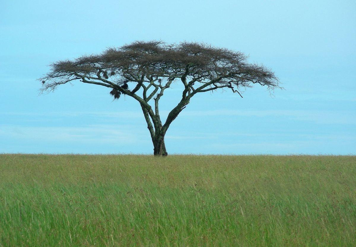 acacia in african savanah