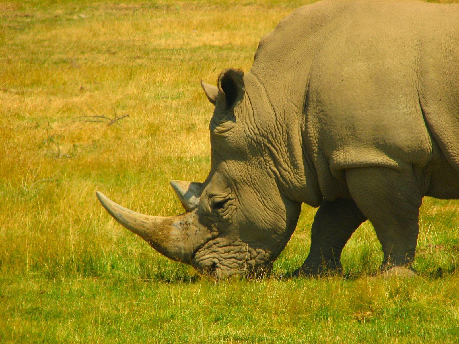 rino near by okavango