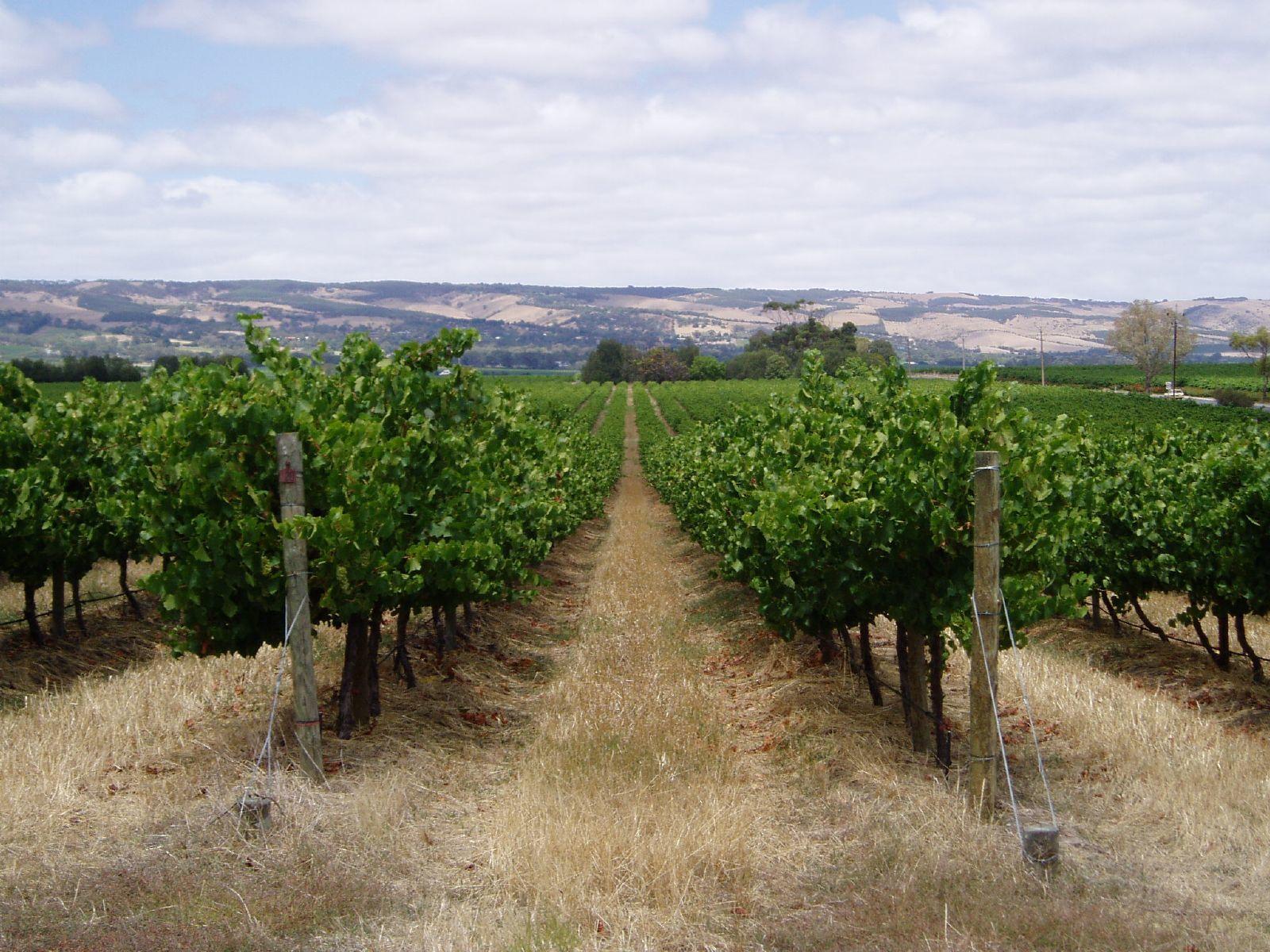 vineyard near adelaide