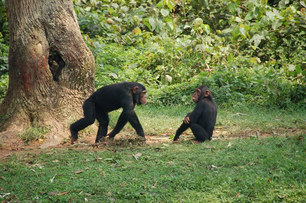 chimpanzees in the rainforests of equatorial guinea