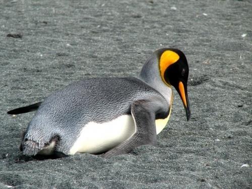 penguin Macquarie Island