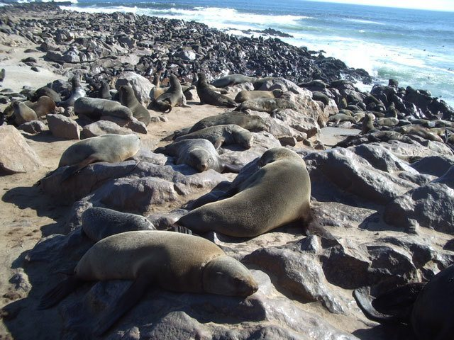 colony of seals namibia