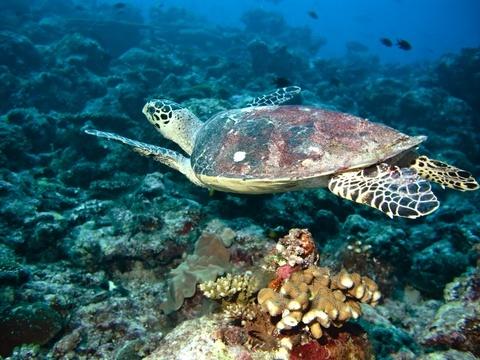cocos keeling islands sea turtle
