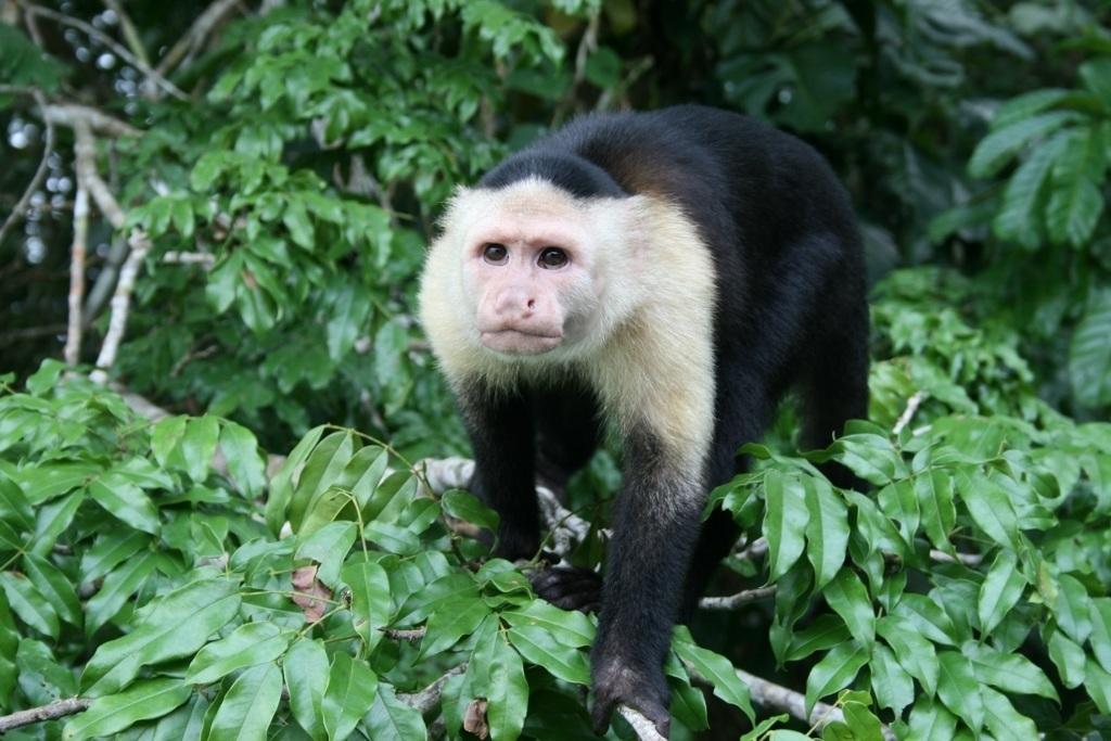 capuchin panama